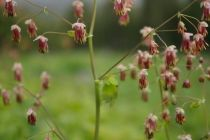 The stamens of the western meadowrue flutter in the wind like tassels