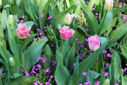 ringed tulips and forget-me-nots