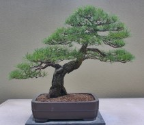 Japanese Red Pine