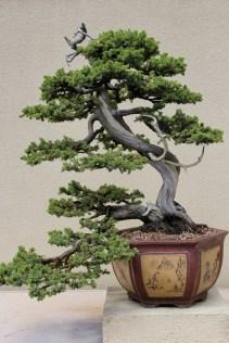 Formosan Juniper