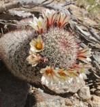 Fishhook cactus (Mammillaria dioica)
