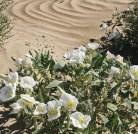 Dune evening primrose (Oenothera deltoides)