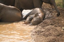 Baby elephant having fun in mud