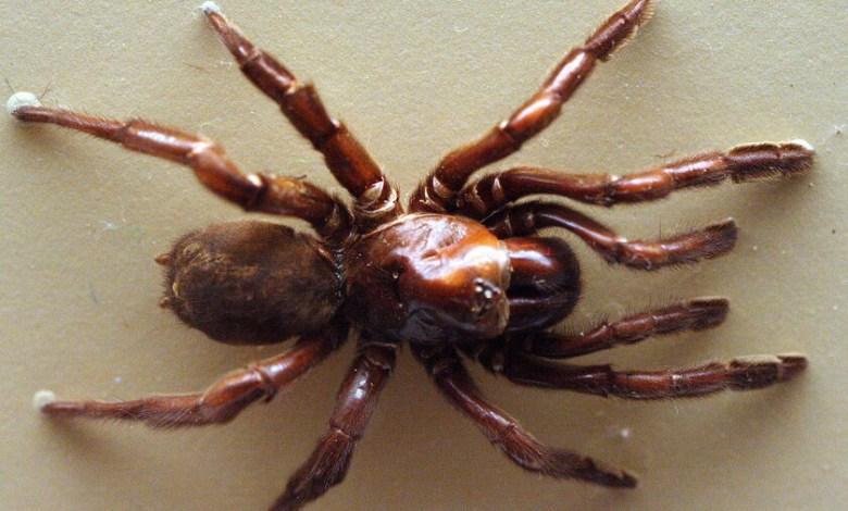 numero-16:-la-arana-australiana-que-vivio-casi-medio-siglo-y-fue-asesinada-a-traicion-por-una-avispa