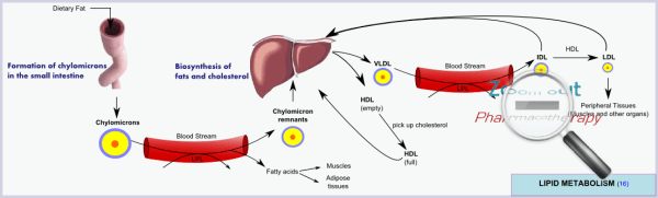 Lipid Metabolism - Normal Physiology