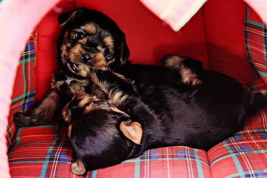 yorkshire-terrier-puppies-picture