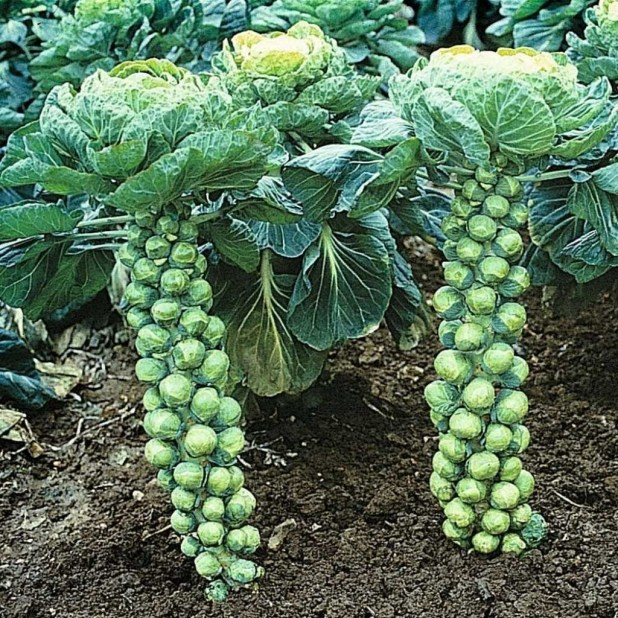 How To Grow Brussels Sprouts Pruning Amp Trimming 64 Heirloom