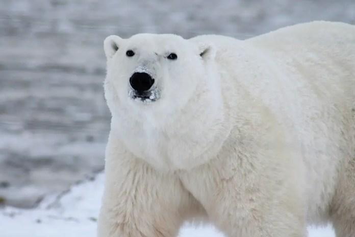 Snow Carnivore Wildlife Wild Polar Bear Arctic
