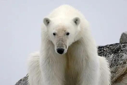 polar bear smell