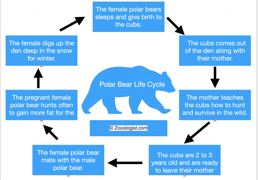 Polar Bear Life Cycle Diagram 1024x715?resize=640%2C447 polar bear life cycle birth to death, stages, facts, diagram