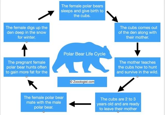 Polar Bear Life Cycle Diagram