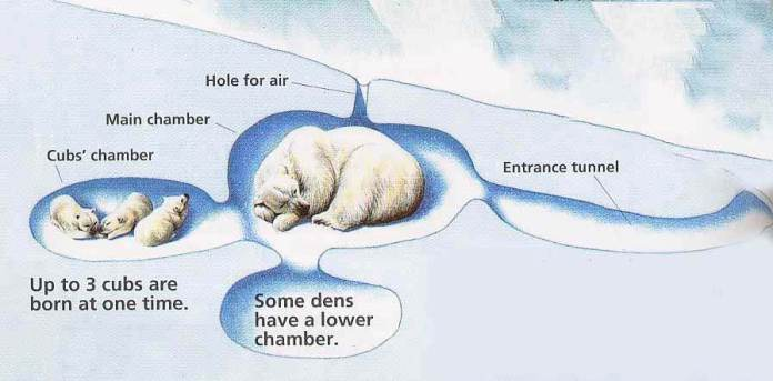 Polar Bear Life Cycle - Polar Bear Den
