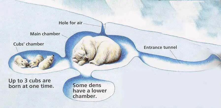 Polar Bear Life Cycle - Polar Bear Den