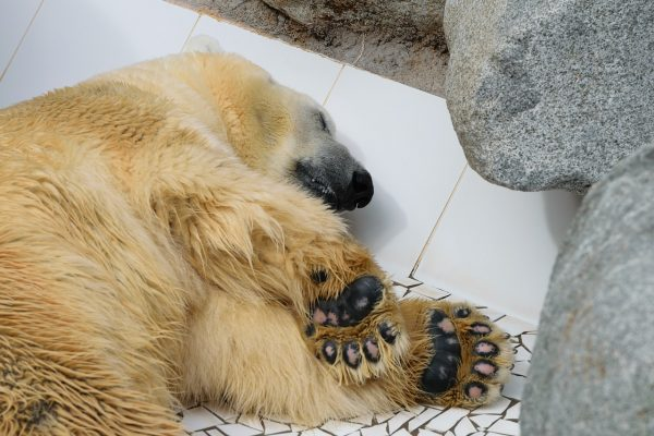 What Color Skin Do Polar Bears Have