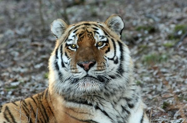 How Much Does a Tiger Weigh - Tiger Weight