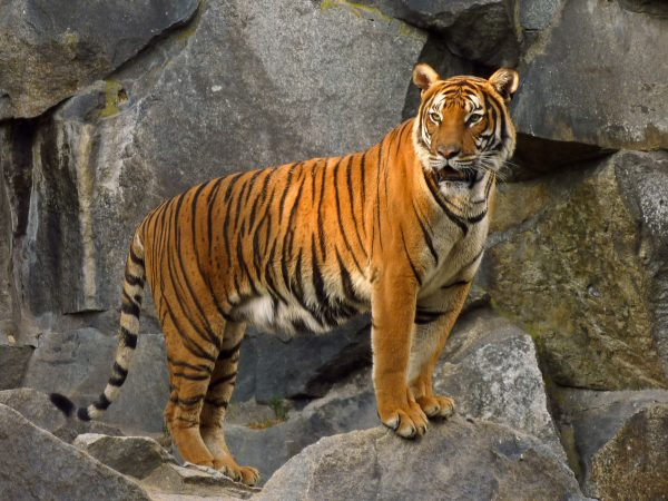 How Much Does an Indochinese Tiger Weigh