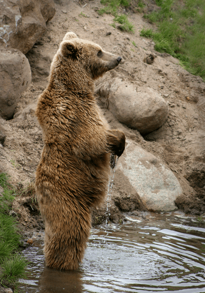 How Tall Is A Grizzly Bear