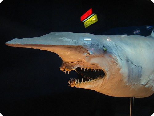 Goblin De Tubarão O Mais Incomum Dos Tubarões