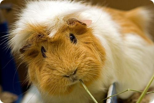 cum coboară porcii guineei în greutate
