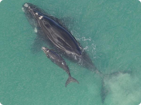 didžiausias varpos banginis