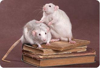 Декоративные крысы - болезни, уход, породы, фото ...
