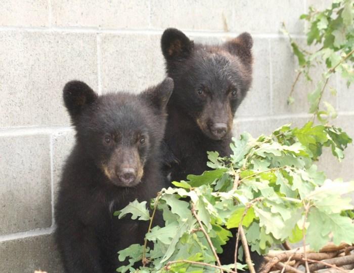 osos-rescatados