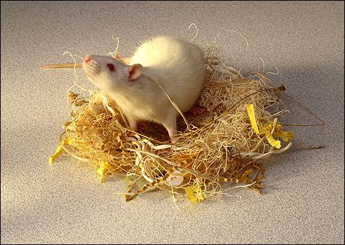 Легенда странствующих крысах, азиатские степи полчища ...