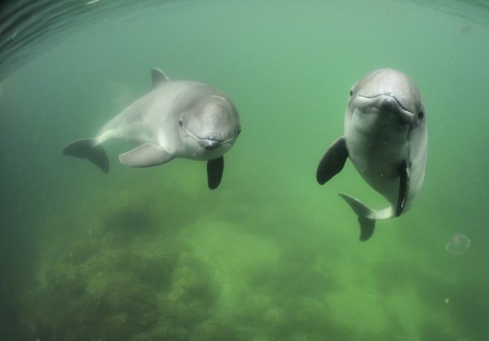 When zoos really matter – how we protected the last porpoises