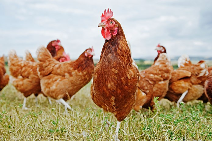 10 Amazing Reasons Why You Should Raise Golden Comet Chickens