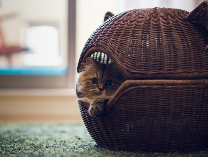 Почему кошка таскает котят в зубах