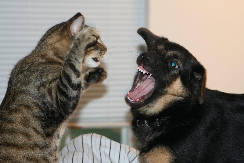 Чем обработать рану у кошки на шее