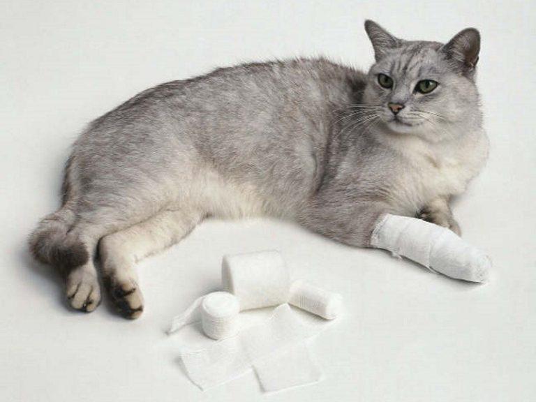 Что делать если у кошки рана. Рана у кошки: чем обработать, лечение