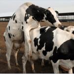 detectar el celo en vacas