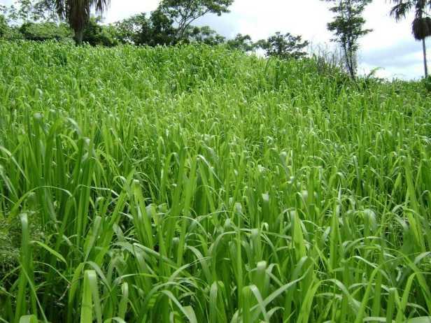 Pasto Guinea Mombaza