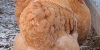 Cria de gallinas ponedoras