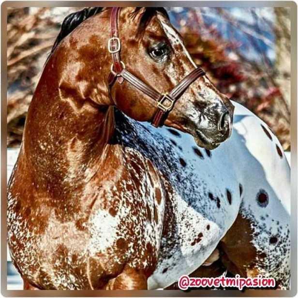 capa de caballo appaloosa