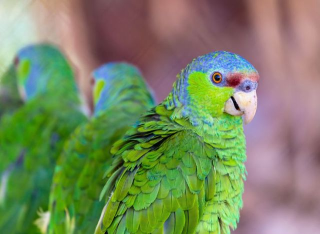 Lilac-Crowned Amazon Parrot (Finsch's Amazon)