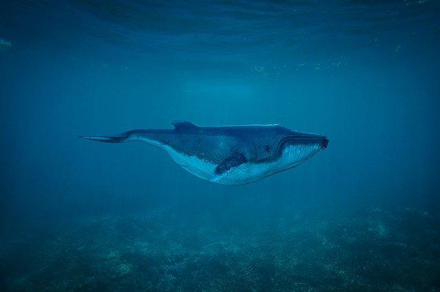 Inilah 2 Fakta Unik pada Ikan Paus Terbesar di Dunia