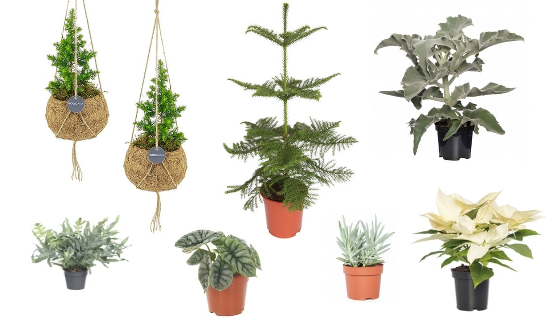 kerst planten