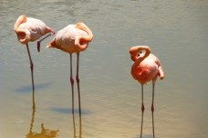 galapagos-isabela-flamingi-2