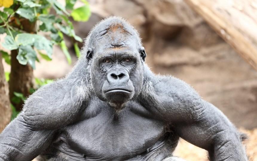 Gorilla-Animal-Wildlife-_6