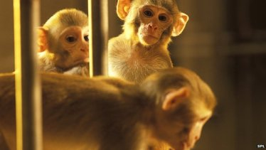 _73045596_g3520182-primate_research_animals-spl