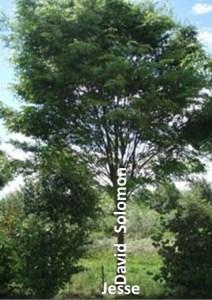 Зображення Ісаєю Династії у вигляді дерева