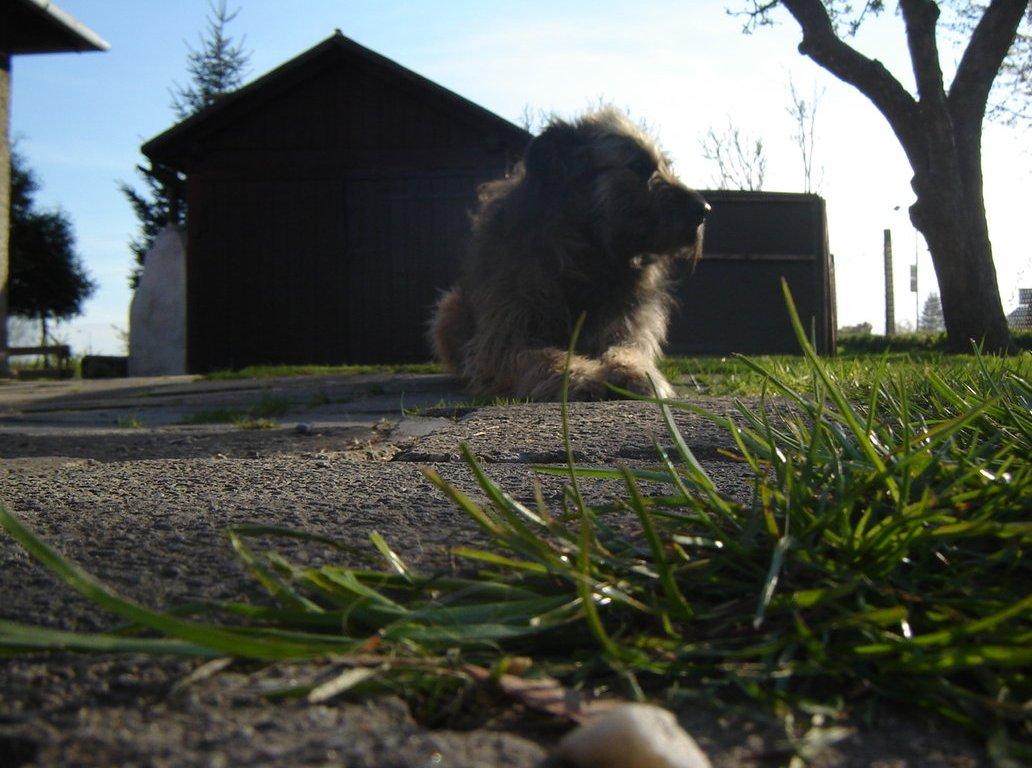 Fotografie irského vlkodava, který leží před garáží u trávy.
