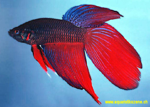 betta_splendens_win7
