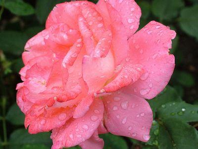 ピンクバラ花