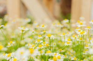カモミール花