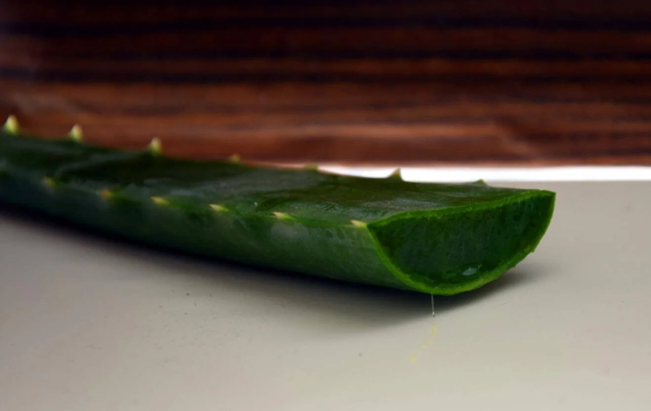 Die ultimative Kosmetikpflanze – Aloe Vera ernten