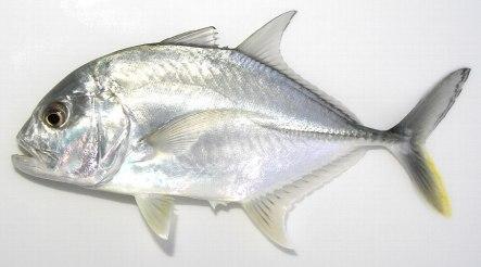 「ロウニンアジ 稚魚」の画像検索結果