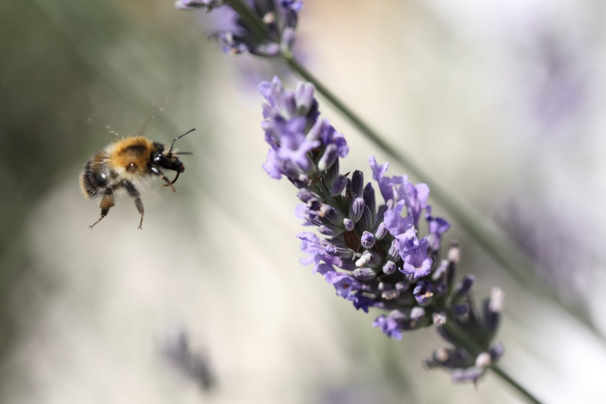 Bienenweide im Garten